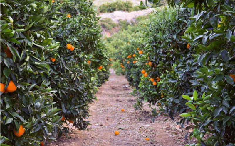 Die besten Orangen aus Valencia